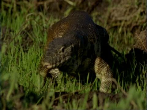 CU Monitor lizard walks through grass to camera, camera zooms out, Mana Pools, Zimbabwe