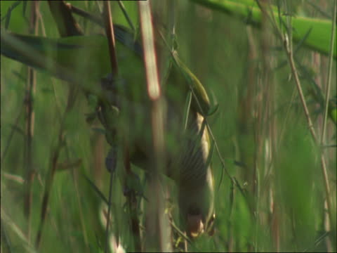 stockvideo's en b-roll-footage met a monk parakeet clings to a tree branch and eats leaves. - plant attribute