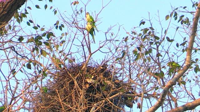 vídeos de stock, filmes e b-roll de monk parakeets near nest, pantanal, brazil - low angle view
