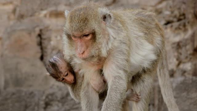 monkey und sohn zu fuß am tempel - animals in the wild stock-videos und b-roll-filmmaterial
