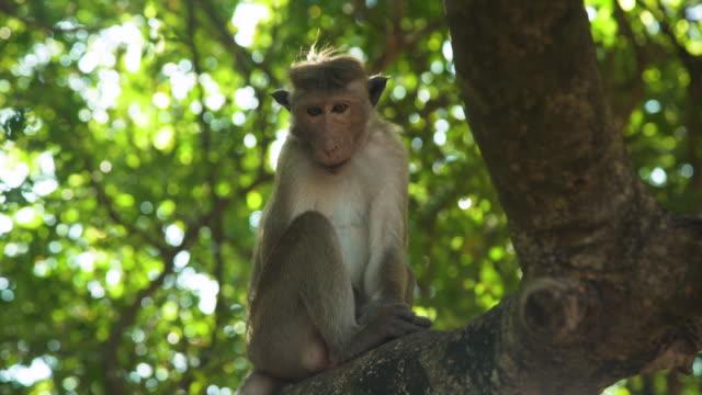 monkey at branch next to sigiriya lion rock at sri lanka - sri lanka stock videos & royalty-free footage