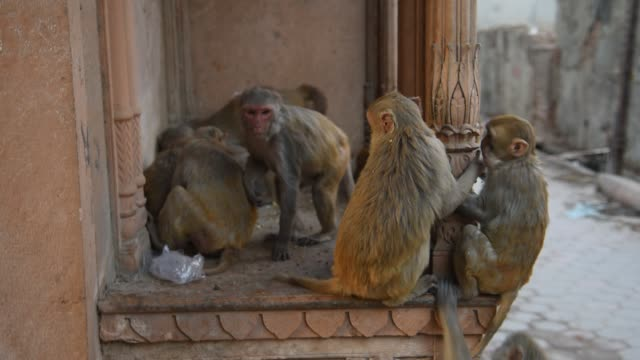 monkey at the street of mathura, india. - temple building stock videos & royalty-free footage