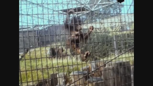 monkey at the zoo in 70's - brown stock videos & royalty-free footage