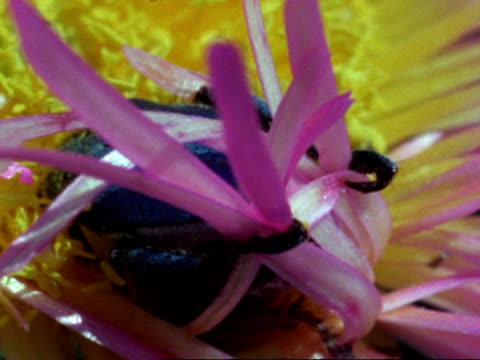 monkey beetle (scelophysa trimeni) pair mate on pink flower while 2nd male lurks, namaqualand, south africa - staubblatt stock-videos und b-roll-filmmaterial