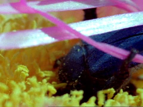 monkey beetle (scelophysa trimeni) pair mate on pink flower while 2nd male lurks, namaqualand, south africa - ståndare bildbanksvideor och videomaterial från bakom kulisserna