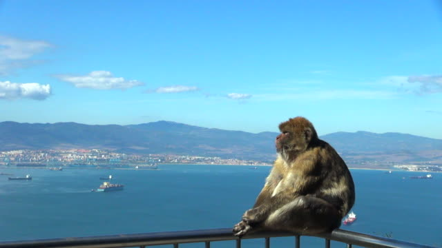 vídeos y material grabado en eventos de stock de monkey changing position and grooming on balcony - roca