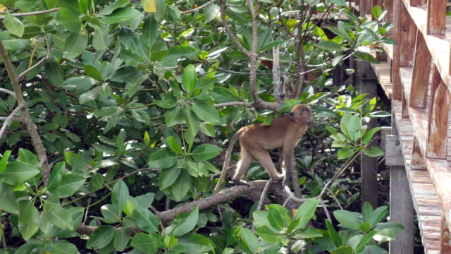 Monkey climbing on the tree in mangrove forest