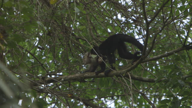 monkey climbs across tree branches in panamanian rainforest, low angle wide shot - 枝 植物部分 個影片檔及 b 捲影像