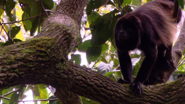 A monkey climbs across tree branches.
