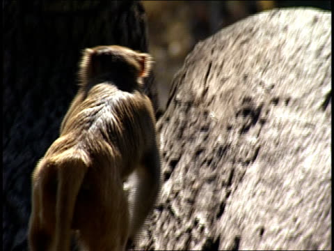 a monkey climbs up a stump. - zoology stock videos & royalty-free footage