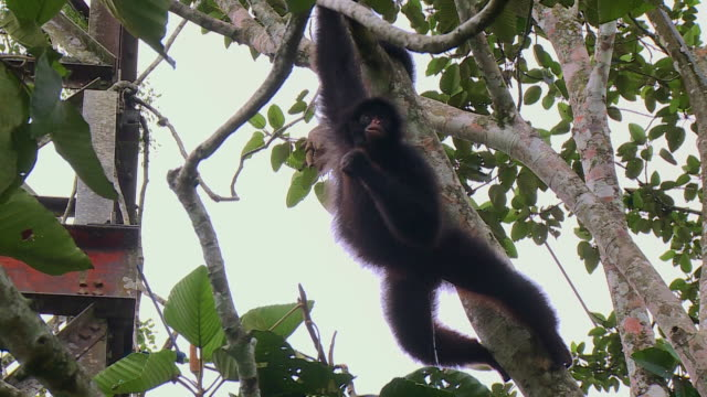 monkey dangling from branch - hanging stock videos & royalty-free footage