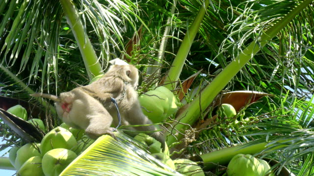 monkey doing work, coconut - coconut stock videos & royalty-free footage