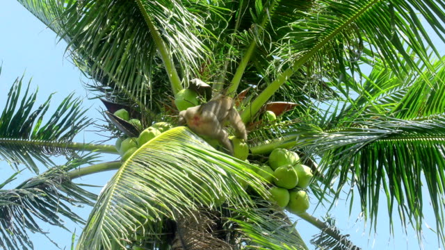 monkey doing work, coconut, - coconut stock videos & royalty-free footage