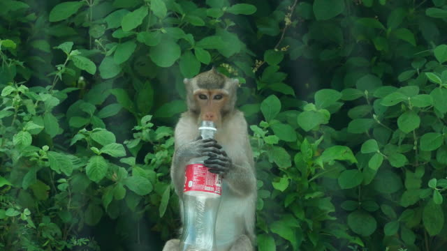 Monkey drinking water from water bottle