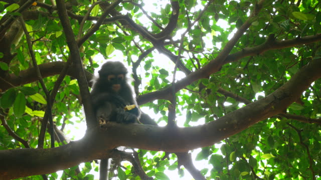 Monkey eating a banana in a tree in the forest