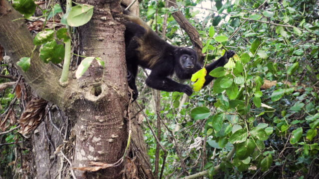 monkey eating a leaf hanging from a branch - nicaragua stock videos & royalty-free footage