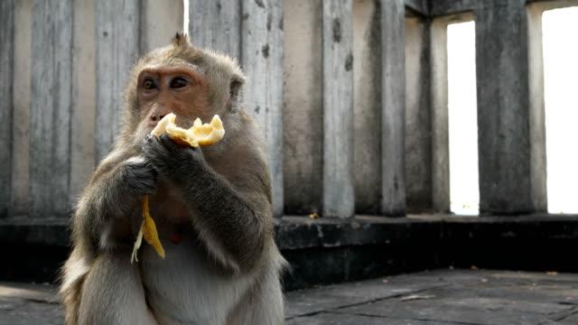 monkey eating banana - ubud stock videos & royalty-free footage