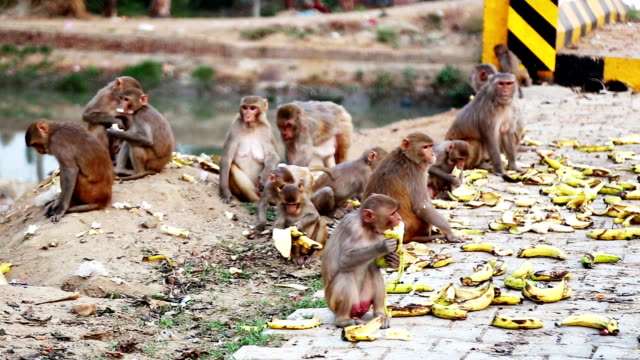 monkey eating banana - banana stock videos & royalty-free footage