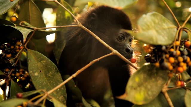 monkey eating berries. - monkey stock videos & royalty-free footage