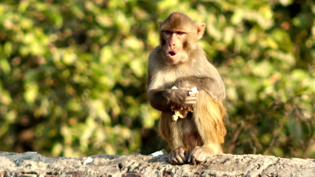 monkey eating food - new delhi stock videos & royalty-free footage