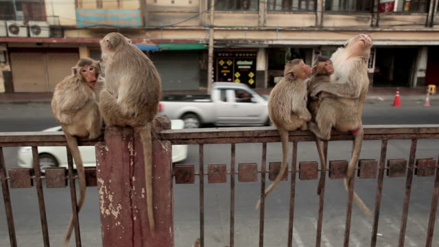 monkey eating fruit in the city, lopburi, thailand - monkey stock videos & royalty-free footage