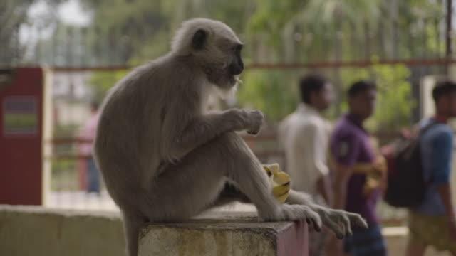 F/S monkey (gray langur) eating in Rishikesh, India