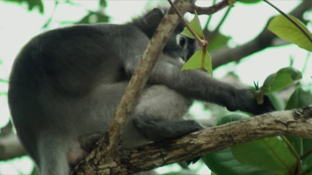 cu la r/f monkey eating leaves from tree, railay beach, thailand - railay beach stock videos and b-roll footage