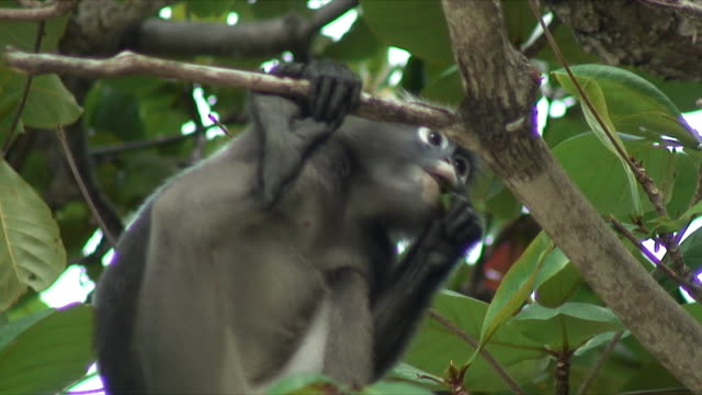cu la monkey eating leaves from tree, railay beach, thailand - railay beach stock videos and b-roll footage