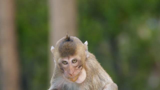 マンゴーを食べる猿 - キツネザル点の映像素材/bロール