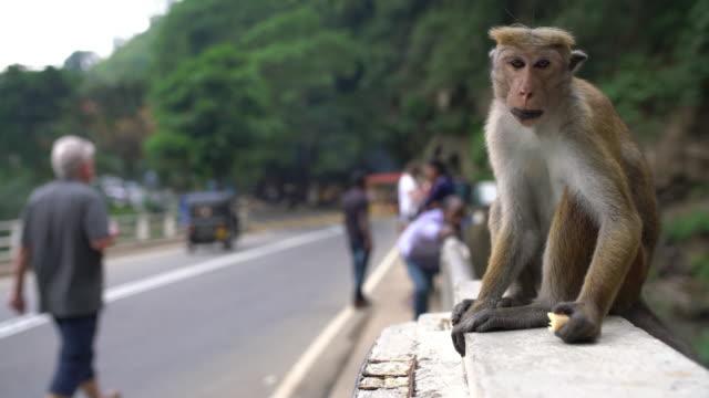 ms monkey eating on bridge railing,sri lanka - sri lanka people stock videos & royalty-free footage