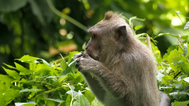 monkey eating plant stem - plant stem stock videos and b-roll footage