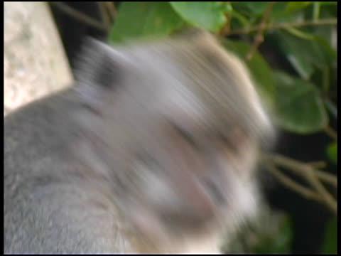 vidéos et rushes de monkey eats banana (gros plan - format vignette