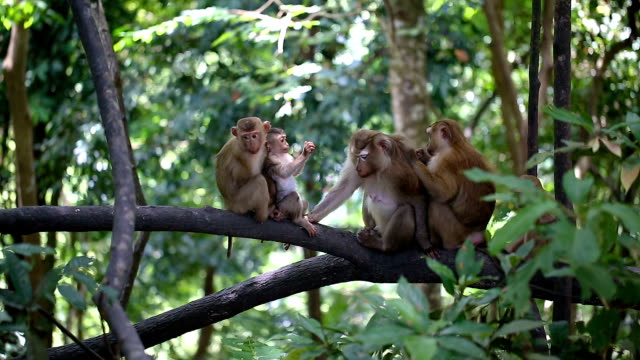 monkey family lives in a natural forest of phuket thailand. - monkey stock videos and b-roll footage