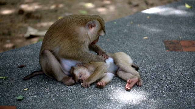 monkey family lives in public park of phuket thailand. - young animal stock videos and b-roll footage