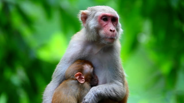 monkey family - ghana stock videos & royalty-free footage