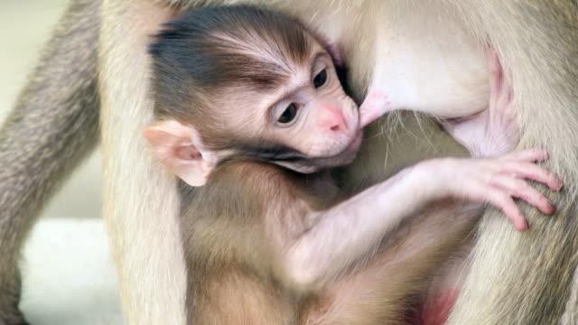 4 K : Famiglia scimmia