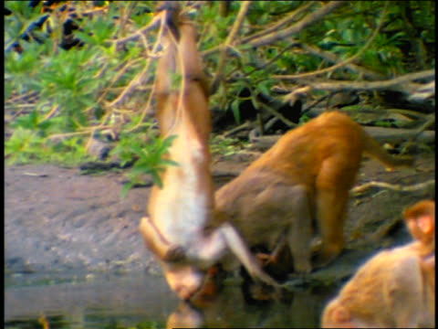 monkey hangs upside down from branch drinking at watering hole / pan to adults with baby monkeys / cayo santiago, puerto rico - upside down stock videos and b-roll footage