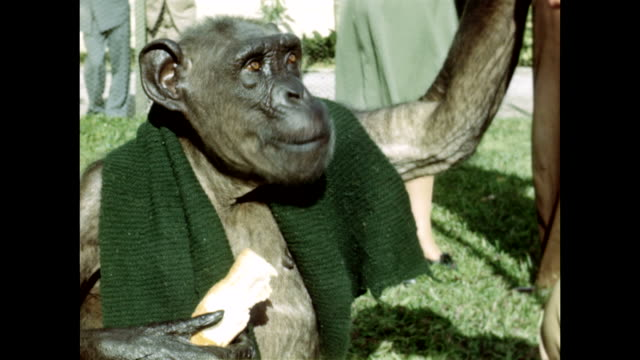 a monkey in a scarf eats a sandwich. - scarf stock videos & royalty-free footage