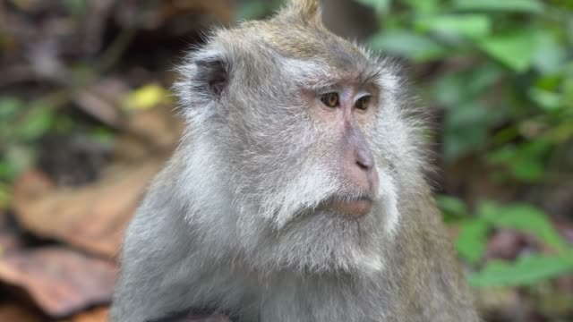 monkey in forest - balinese culture stock videos & royalty-free footage