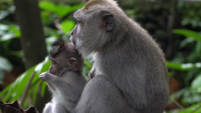 monkey in forest - animal family stock videos & royalty-free footage