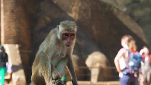 Monkey in front of Sigiriya Lion Rock, Sri Lanka
