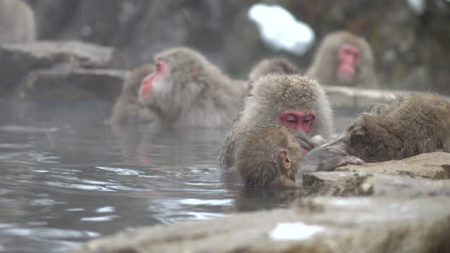 monkey in hot spring - hot spring stock videos & royalty-free footage