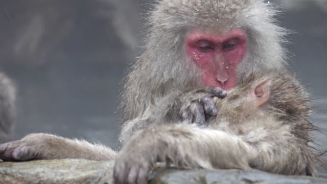 monkey in hot spring - grooming stock videos & royalty-free footage