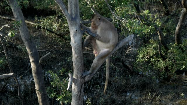 monkey in mangrove forest sitting on branch and cleaning the body - mangrove tree stock videos & royalty-free footage