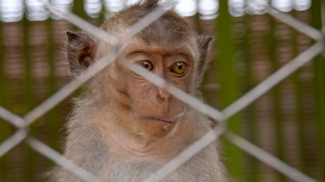 cu monkey in the cage - macaque stock videos and b-roll footage