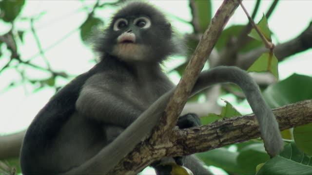 stockvideo's en b-roll-footage met cu la monkey in tree, railay beach, thailand - driekwartlengte