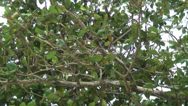 ms la zo zi monkey in tree, railay beach, thailand - railay beach stock videos and b-roll footage