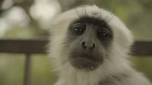 C/U monkey (gray langur), India