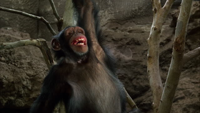 cu monkey is laughing  / los angeles, california, united states - chimpanzee stock videos & royalty-free footage