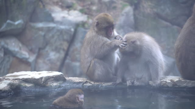 monkey japanese macaque family near onsen hot spring - hot spring stock videos & royalty-free footage
